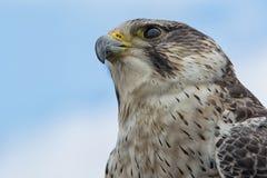 Falco ibrido Fotografie Stock Libere da Diritti