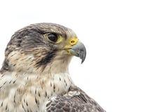 Falco ibrido Immagine Stock Libera da Diritti