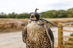 Falco incappucciato fotografia stock libera da diritti