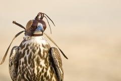 Falco incappucciato Fotografie Stock