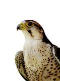 Falco isolato Fotografia Stock