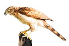 Falco isolato Fotografie Stock Libere da Diritti