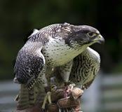 falco jastrząbka gyr rusticolus Obraz Stock