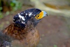 Falco Java Immagini Stock Libere da Diritti