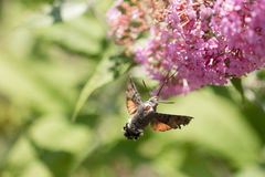 Falco-lepidottero del colibrì di volo con un fiore immagine stock