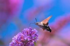 Falco-lepidottero del colibr? fotografia stock