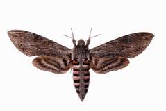 Falco-lepidottero del convolvolo Immagini Stock