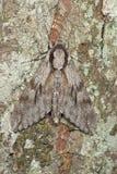 Falco-lepidottero del pino (pinastri dello Sphinx) Fotografia Stock
