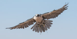 Falco maschio del saker durante la manifestazione di volo di caccia col falcone nel Dubai, UAE Immagine Stock Libera da Diritti