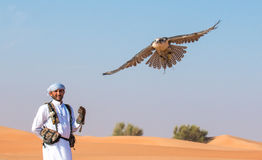 Falco maschio del saker durante la manifestazione di volo di caccia col falcone nel Dubai, UAE Fotografie Stock