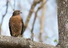 Falco messo rosso Fotografie Stock