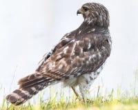 Falco messo rosso Fotografie Stock Libere da Diritti