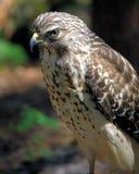 Falco messo rosso Immagine Stock Libera da Diritti