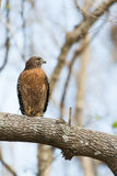 Falco messo rosso Immagini Stock