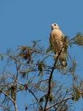 Falco messo rosso sulla cima dell'albero Immagine Stock Libera da Diritti