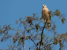 Falco messo rosso sulla cima dell'albero Fotografia Stock