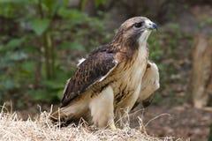 Falco munito rosso Fotografie Stock