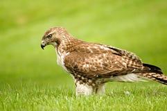 Falco munito rosso Immagini Stock Libere da Diritti