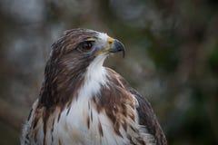 Falco munito rosso Immagine Stock