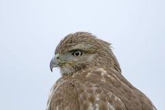Falco munito rosso Fotografia Stock
