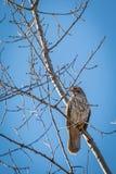 Falco munito rosso Fotografia Stock Libera da Diritti
