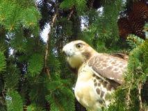Falco munito rosso Fotografie Stock Libere da Diritti