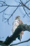 Falco munito rosso, Central Park, NYC Immagine Stock Libera da Diritti