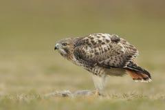Falco munito rosso con la preda Fotografia Stock