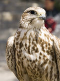 Falco Naumanni. Lesser or Common Kestrel perched and in alert position Stock Image