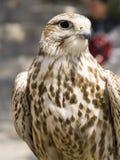 Falco Naumanni Stock Image