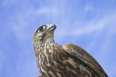 Falco nel cielo fotografia stock libera da diritti
