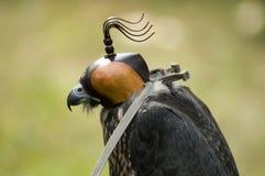 Falco nell'addestramento Fotografia Stock