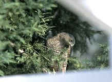 Falco nell'albero del cortile Immagine Stock Libera da Diritti