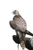 Falco nella mano Fotografia Stock