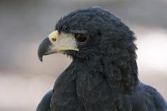 Falco nero Fotografie Stock