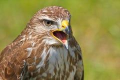 Falco o regalis ferruginosi del Butea Immagini Stock Libere da Diritti