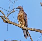 Falco pecchiaiolo orientale Immagini Stock Libere da Diritti