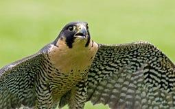 Falco pellegrino Fotografie Stock Libere da Diritti