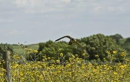 Falco pellegrino Fotografia Stock
