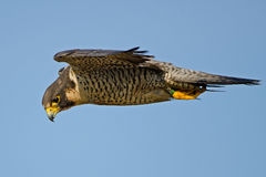 Falco pellegrino fotografie stock