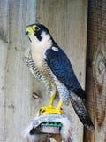 Falco pellegrino (peregrinus di Falco) Immagine Stock Libera da Diritti