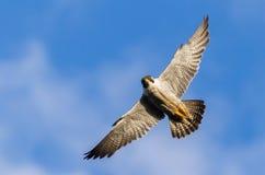 Falco pellegrino Vandrefalk Finnmark fotografia stock libera da diritti