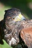 Falco per la caccia Fotografia Stock