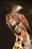 Falco per la caccia Fotografie Stock