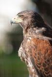 Falco per la caccia Fotografia Stock Libera da Diritti