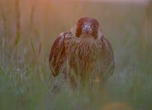 Falco peregrinus Arkivbild