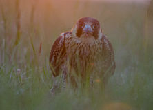 Falco peregrinus. Ate in the last hours of the day Stock Photography