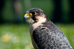 Falco peregrinus Royalty Free Stock Photos