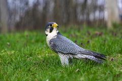 Falco peregrinus calidus artic falcon. Artic falcon Falco peregrinus calidus on the floral spring meadow Stock Image