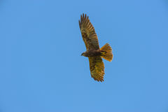 Falco peregrinus -  falcon in the sky, ornithology Stock Image